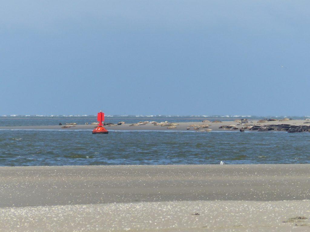 Phoques au Crotoy
