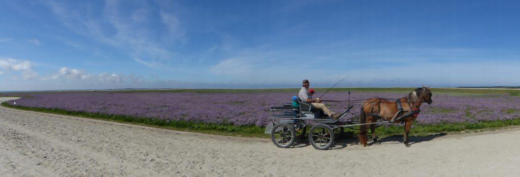 Promenade en attelage en baie de Somme