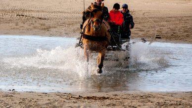 attelage chevaux baie de somme